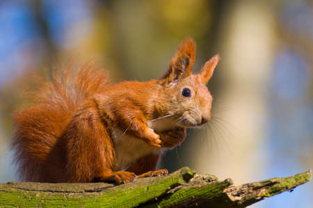 sciurus: Red squirrel - Sciurus vulgaris