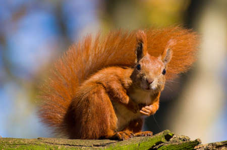 Red squirrel - Sciurus vulgaris photo