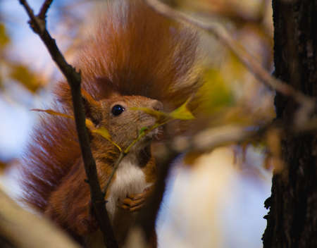 Red squirrel - Sciurus vulgaris Stock Photo - 16005801