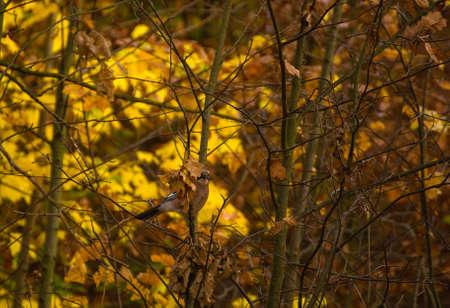 Garrulus glandarius - Jay Stock Photo - 16066924