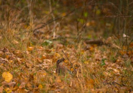 Garrulus glandarius - Jay Stock Photo - 16066928