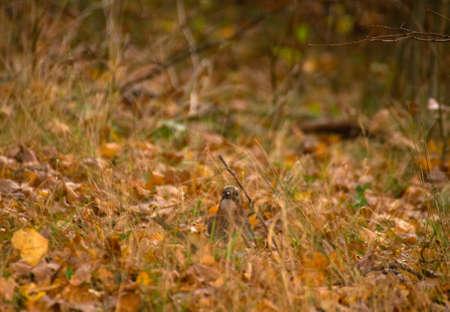 Garrulus glandarius - Jay Stock Photo - 16066914