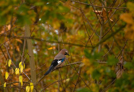 Garrulus glandarius - Jay Stock Photo - 16066836