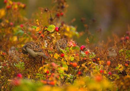 ornitology: Sparrow