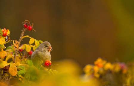 greenfinch: Greenfinch, linnet ordinary, Chloris chloris