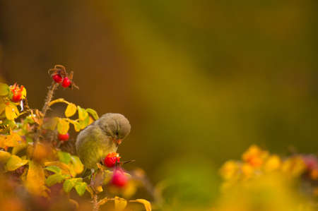 greenfinch: Greenfinch, linnet ordinary, Chloris chloris