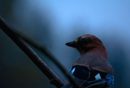 Jay - Garrulus glandarius photo