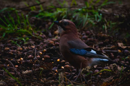 garrulus: Jay - Garrulus glandarius Stock Photo