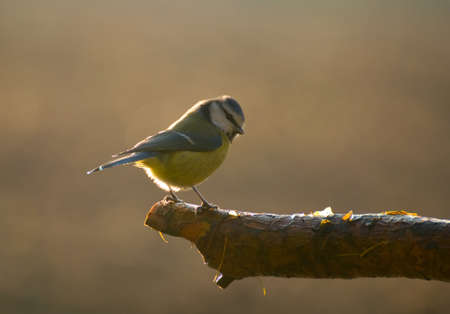 Common Blue Tit, Blue Tit, blue tit, tits Cyanistes Stock Photo - 16157298