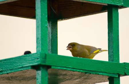 Greenfinch, linnet ordinary, Chloris chloris photo
