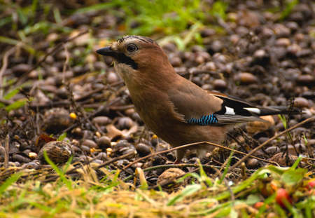 Common Jay, Jay - Garrulus glandarius Stock Photo - 16275097