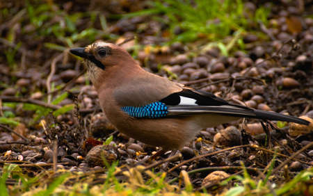 Common Jay, Jay - Garrulus glandarius Stock Photo - 16275036
