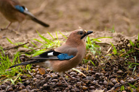Common Jay, Jay - Garrulus glandarius Stock Photo - 16275134