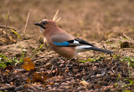 Common Jay, Jay - Garrulus glandarius Stock Photo - 16275102