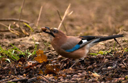 Common Jay, Jay - Garrulus glandarius Stock Photo - 16275042