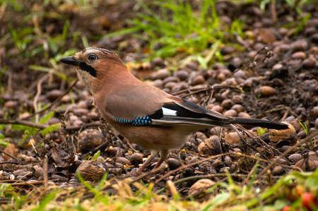 jay: Common Jay, Jay - Garrulus glandarius