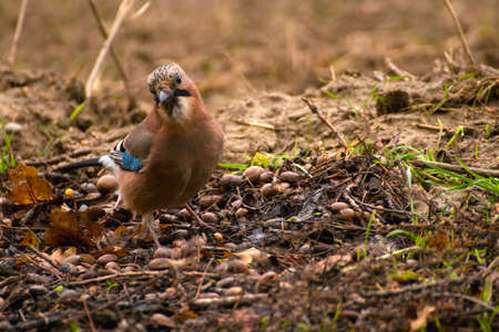 Common Jay, Jay - Garrulus glandarius Stock Photo - 16275103