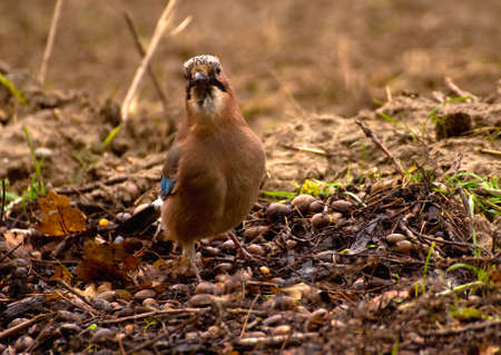 Common Jay, Jay - Garrulus glandarius Stock Photo - 16275018