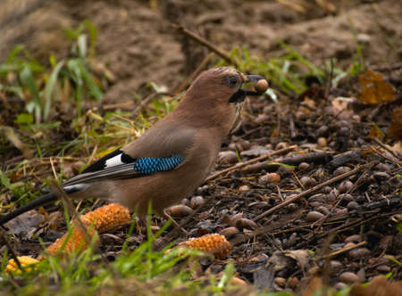 Common Jay, Jay - Garrulus glandarius Stock Photo - 16275048