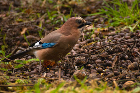 Common Jay, Jay - Garrulus glandarius Stock Photo - 16275114