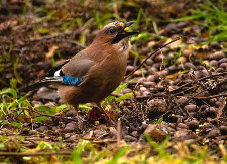 Common Jay, Jay - Garrulus glandarius Stock Photo - 16275035