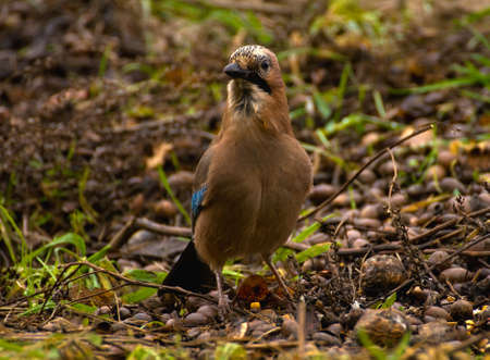 Common Jay, Jay - Garrulus glandarius Stock Photo - 16275047