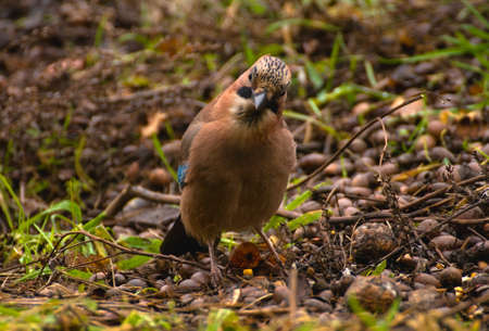 Common Jay, Jay - Garrulus glandarius Stock Photo - 16275034