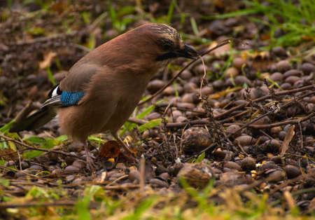 Common Jay, Jay - Garrulus glandarius photo