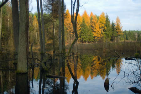 Beavers pool - flooded forest - swamp Stock Photo - 16275123