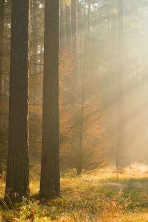 Autumn pine forest Stock Photo - 16275685