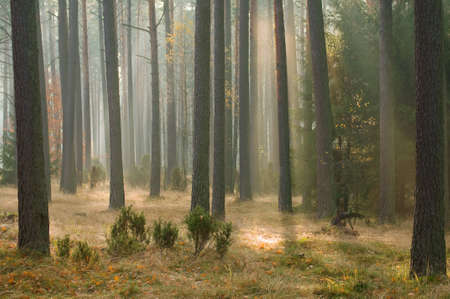 Autumn pine forest Stock Photo - 16275686