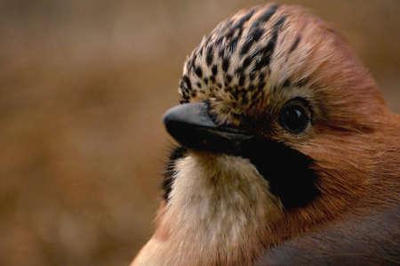 Common Jay, Jay - Garrulus glandarius Stock Photo - 16435712