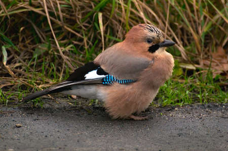 Common Jay, Jay - Garrulus glandarius photo
