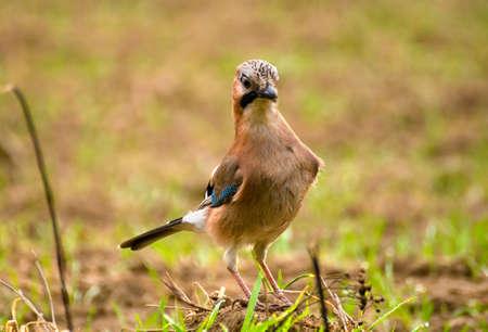 Common Jay, Jay - Garrulus glandarius Stock Photo - 16436078
