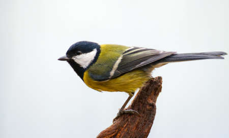 Parus major - Tit Stock Photo - 16531198