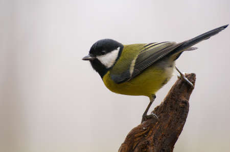 Parus major - Tit Stock Photo - 16531315
