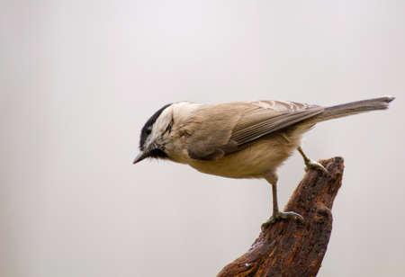 poecile palustris: Poecile palustris