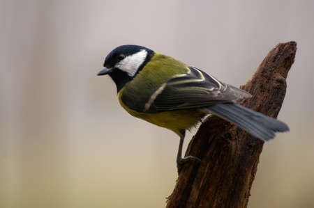 Parus major - Tit Stock Photo - 16531349