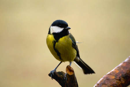 Parus major - Tit Stock Photo - 16546549