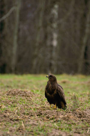 Buzzard - Buteo buteo Stock Photo - 16635296