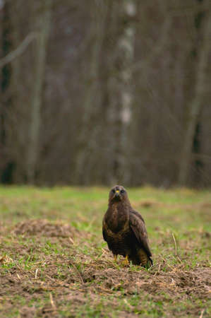 Buzzard - Buteo buteo Stock Photo - 16635302