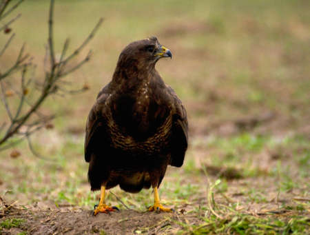 Buzzard - Buteo buteo Stock Photo - 16635442