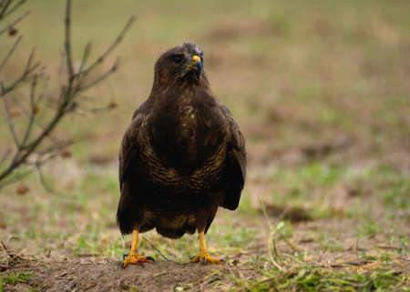 Buzzard - Buteo buteo Stock Photo - 16635480