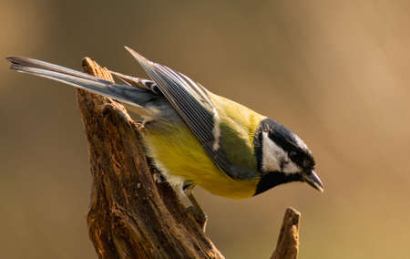 Parus major - Tit Stock Photo - 16635273