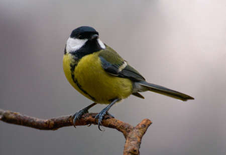 Parus major - Tit Stock Photo - 16630771