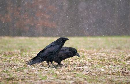 Raven - Corvus corax Stock Photo - 16674099