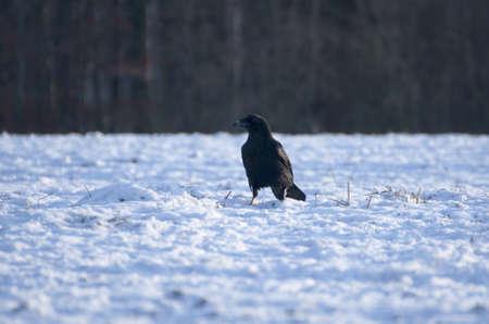 Raven - Corvus corax Stock Photo - 16730457