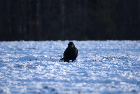 Raven - Corvus corax Stock Photo - 16730455