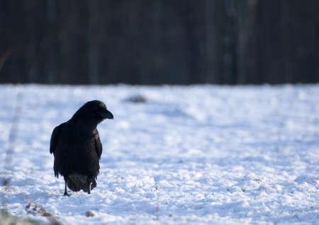 Raven - Corvus corax Stock Photo - 16730466