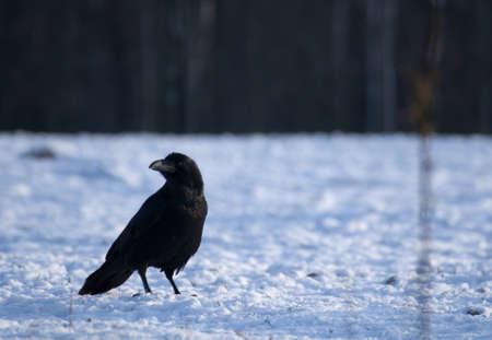 Raven - Corvus corax Stock Photo - 16730459